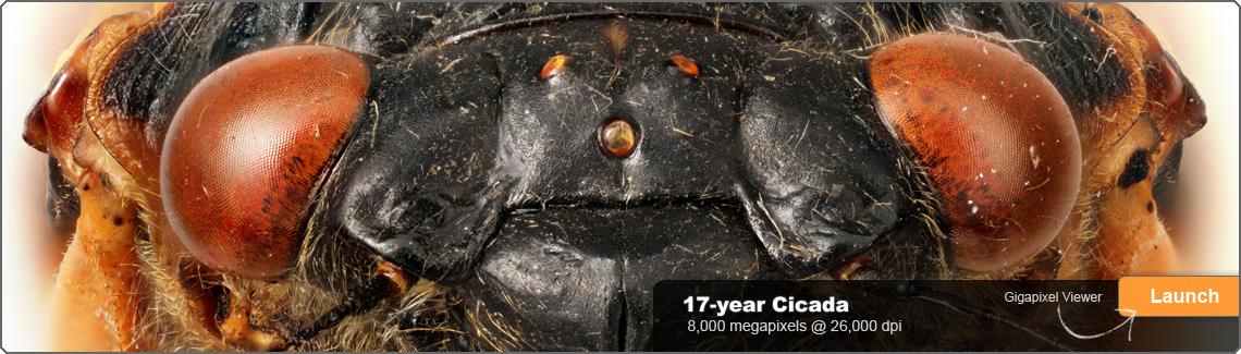 gigamacro_home_slide_cicadas_11401
