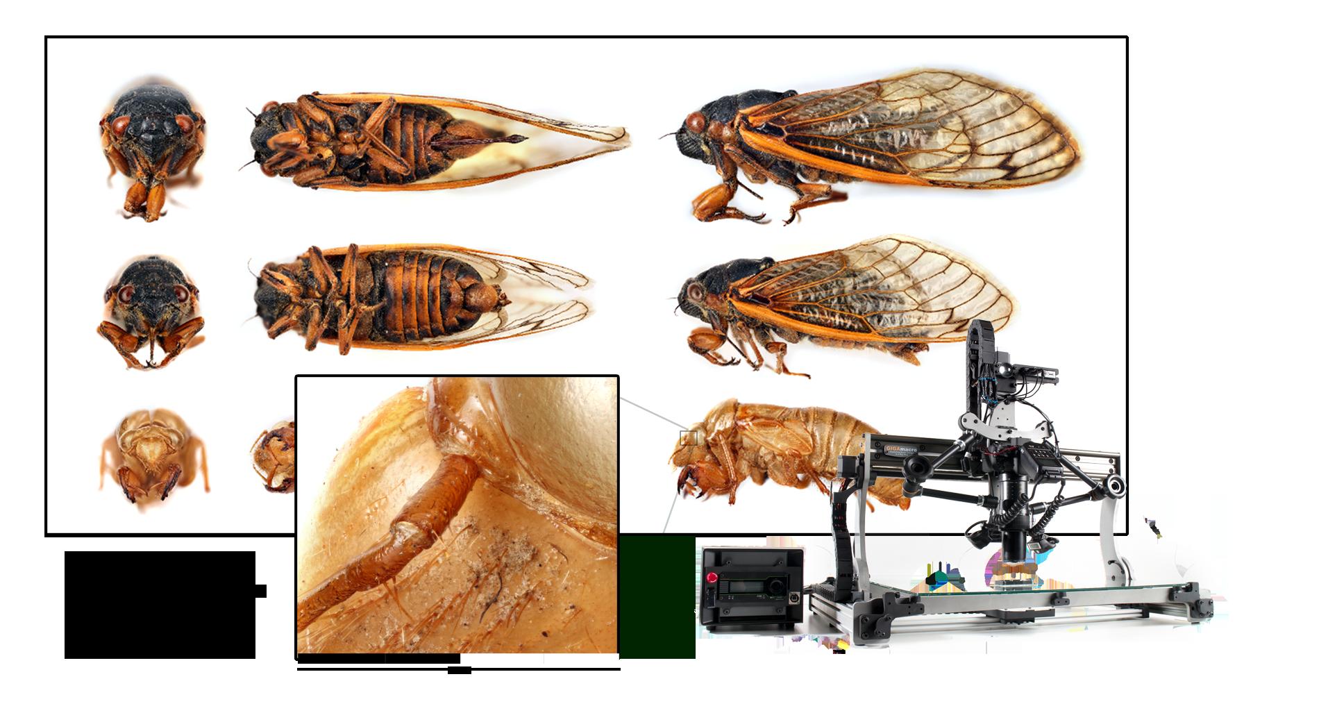Cicada septendecim. male, female & nymph