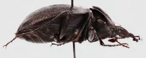 Snail Eating Beetle